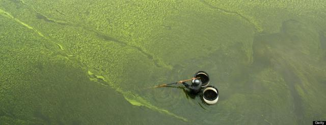 A man collects snails in the algae bloom