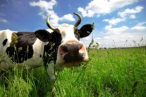 cow-545x363